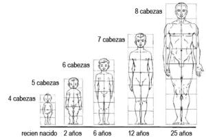 Hombre proporciones